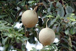 ゾウノリンゴ(ウッドアップル、タナカの木)の種