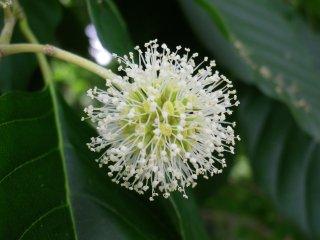 カンレンボク(旱蓮木、喜樹、キャンサーツリー)の種