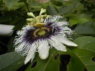 ハイブリッドエデュリスパッションフルーツ(レッドフラメンコ)の種