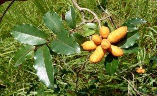 ウバリア・チャマエ(ブッシュバナナ)の種