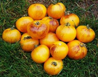 プライマリーカラートマトの種