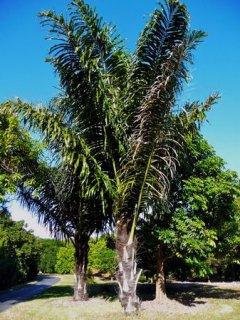 サトウヤシ(砂糖椰子)の種