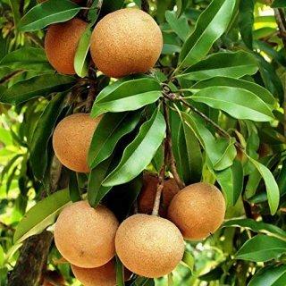 アフリカナツメグ(ジャマイカナツメグ、キャラバッシュナツメグ)の種