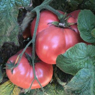ドワーフテイスティーワイントマトの種