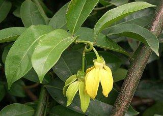 クライミングイランイランノキ(カーラウェーク)の種