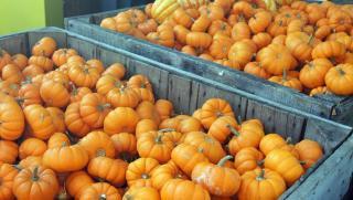 ミニかぼちゃ(リトルジャック)の種