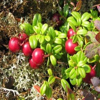 マウンテンクランベリー(コケモモ、リンゴンベリー、サンタベリー)の種