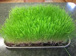 ウィートグラス(小麦若葉)の種(〜500gm)