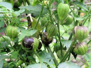 パープルトマティーヨ(食用ホオズキ)の種