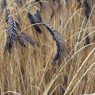 Black Emmer(フタツブコムギ)の種 *籾殻無し