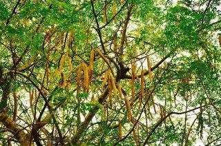 モリンガ・オレイフェラの種