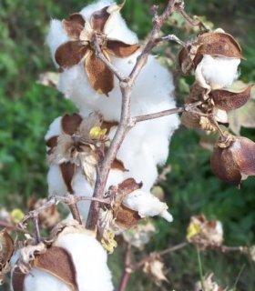ホワイトコットン(木綿)の種