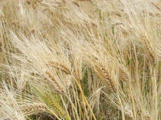 はだか麦(マンネンボシ、大麦)の種
