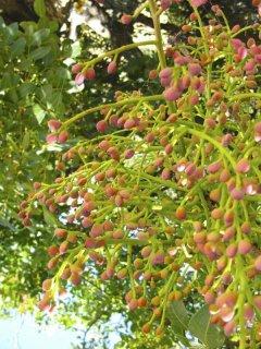 ワイルドピスタチオの種