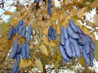 ブルーソーセージフルーツの種