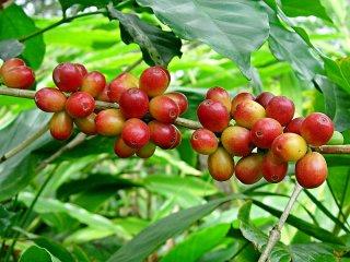 アラビカコーヒーノキの種