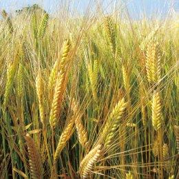 ニシノカオリ(小麦、ウィートグラス、小麦若葉)の種: 1kg〜