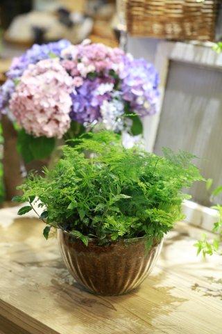 【自分で植える】観葉植物苗セット(アジアンタムとニシキザサ)