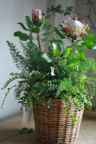 【1点限定】キング・プロテアと観葉植物のブリコラージュ