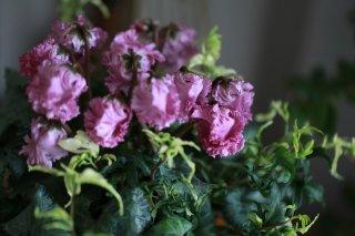【1点もの】シクラメン「ベリッシマ」の北欧鉢植え(B)