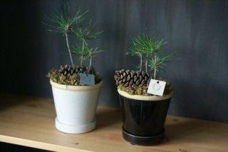 松ぼっくりの発芽盆栽(鉢色選べます)