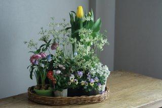 【自分で植える】チューリップと春の草花セットA