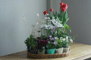 【自分で植える】チューリップと春の草花セットB