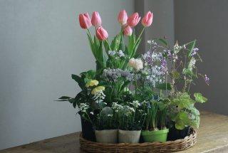 【自分で植える】チューリップと春の草花セットC