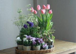 【自分で植える】チューリップと春の草花セットD