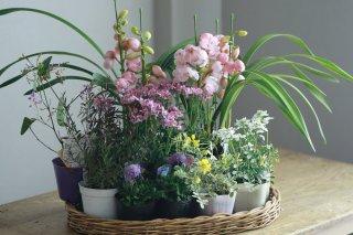 【自分で植える】シンビジュームと春の草花セット