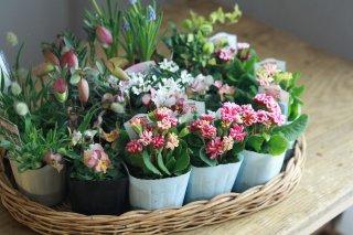 【自分で植える】星咲ふくりんりんと春の草花セット