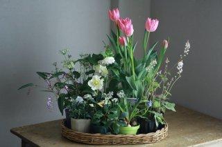【自分で植える】チューリップと春の草花セットE