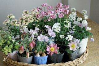 【自分で植える】ネメシア(ピンク&イエローMIX)と春の草花セット