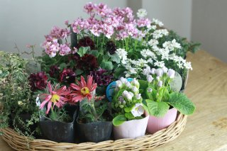 【自分で植える】ネメシア(ピンク)と春の草花セット
