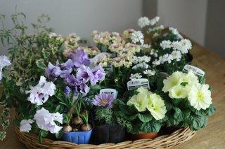 【自分で植える】ネメシア(イエロー)と春の草花セット