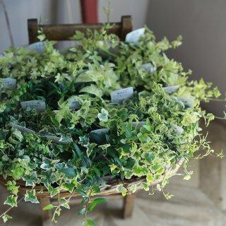【自分で植える】広野園芸さんのアイビー10種類セレクション