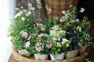 【自分で植える】ペチュニア(ジュリエット&フェアリーブーケ)とポレモニウムのナチュラルセット