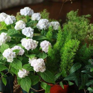 【自分で植える】イヨシシテマリとさわやかグリーンの花苗セット