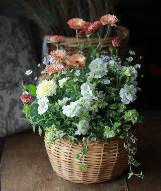 【自分で植える】カレンジュラとペチュニアの華やか花苗セット