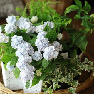 【自分で植える】イヨシシテマリとヒメモンステラセット