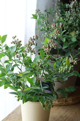 【2品種植え】ブルーベリー(単体)