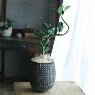 【1点もの】ゴムの木アポロの鉢植え[A]