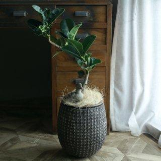 【1点もの】ゴムの木アポロの鉢植え[B]