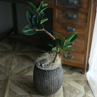 【1点もの】ゴムの木アポロの鉢植え[C]