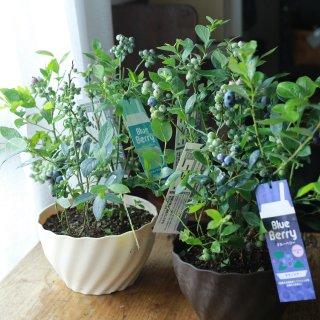 【2品種3本植え】ブルーベリー(単体)