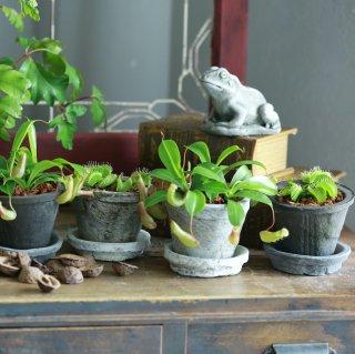 【2点セット】ミニ食虫植物