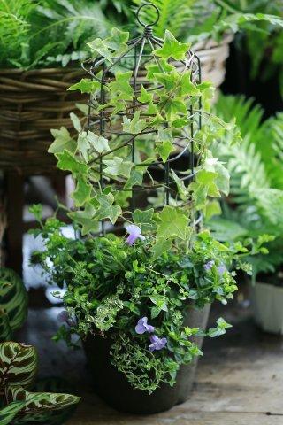 【1点もの】アイビーとトレニアのモスポット植え(小)