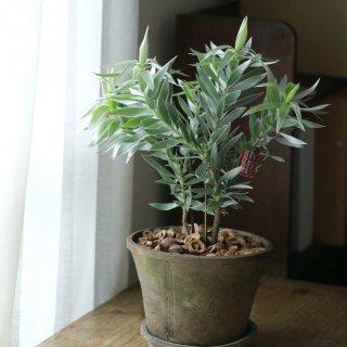 【1点もの】シルバーアフリカーナのモスポット植え(B)