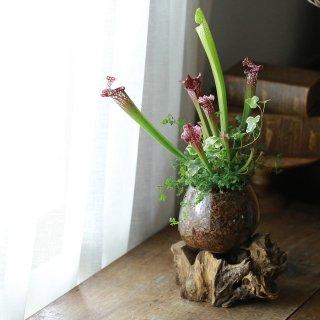 【1点もの】サラセニアの流木ガラス植え[B]