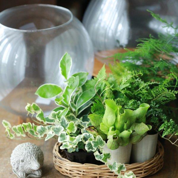 第2弾【選べるガラス付き】ミニテラリウムの観葉植物セット